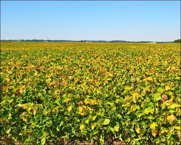 Yellowing soybean field