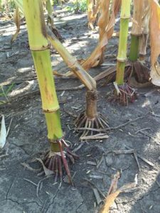 Lodged stalk between two healthy stalks
