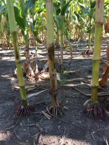 Plants with stalk rot will often have a brown discolored lower stalk