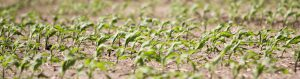 crops with liquid fertilizer