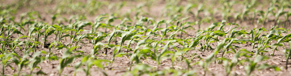 Cover Crop Fertilizer with Rows of Corn