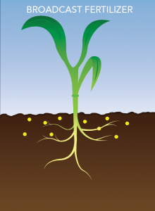 A visual of how broadcasted granular fertilizer appears with a stalk of corn.