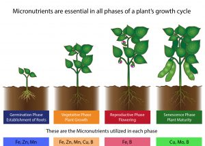 Fertilizers contain micronutrients which are utilized in various phases of a plant's growth