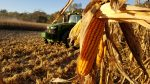 Close of of corn with tractor in background
