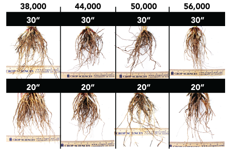 Comparison of corn roots based on 20 and 30 inch row spacing
